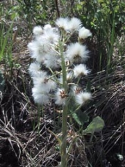 arrow_leaved_coltsfoot