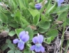 bog_violet